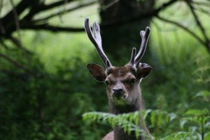 Sika Stag Head