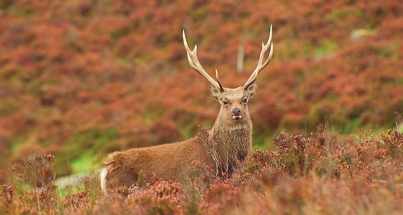 sika-stag-heather